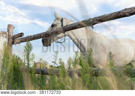 Beautiful Thoroughbred White Horse Grazing In Green Meadow Pasture Field Paddock Old Wooden Fence At