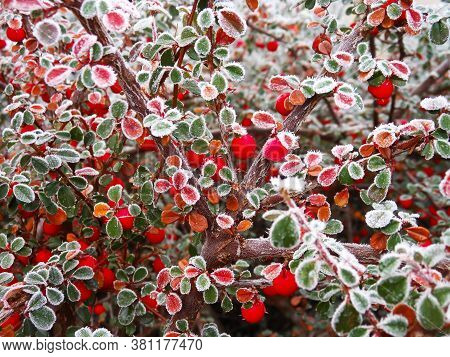 Close-up Of Frost Red Berries On Tree. Cotoneaster Dammeri