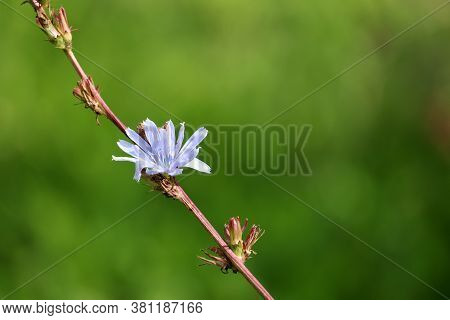 Blue Chicory Flower On A Summer Meadow, Healing Plant. Blooming Chicory On Blurred Green Background
