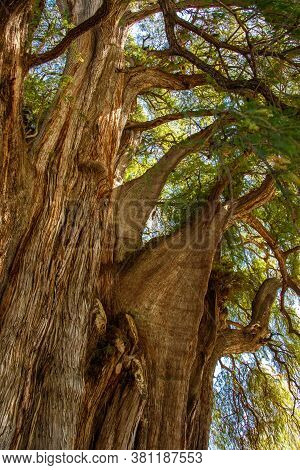 Impressive Old Cypress Tree In Tule In Oaxaca State, Mexico