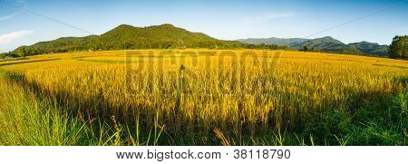 Panorama Of Rice Field