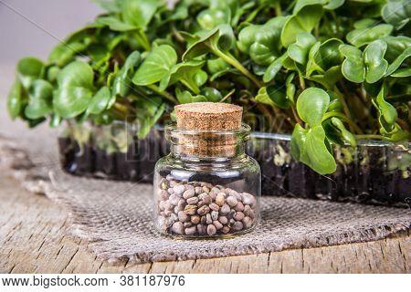 Seed Bottle. Radish Seeds. Young Radish Sprouts. Radish Microgreen