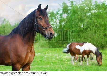 Horses Fall On A Green Meadow. A Brown Horse In The Foreground Looks In Front, In The Background Hor