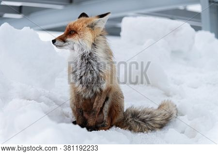 Wild Red Fox Sits In The Snow Against A Backdrop Of Metal Structures In The North Caucasus