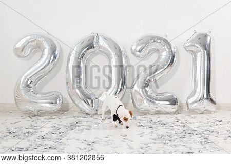 Jack Russell Terrier Dog With Balloons In The Form Of Numbers 2021. New Year Celebration. Silver Air