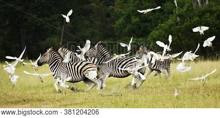 The Plains Zebra (equus Quagga), Also Known As The Common Zebra Alarmed Herd Of Zebras In The Savann