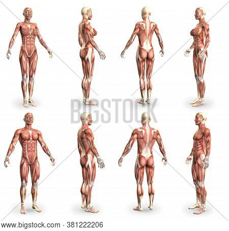 8 Detailed Images In 1, Male And Female Bodies With Muscle Map - Anatomy Concept For Medicine - Cg M