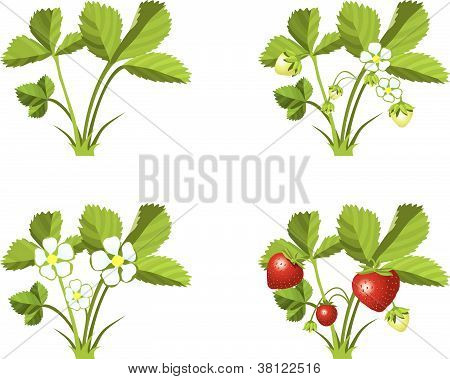 Strawberry growth phases