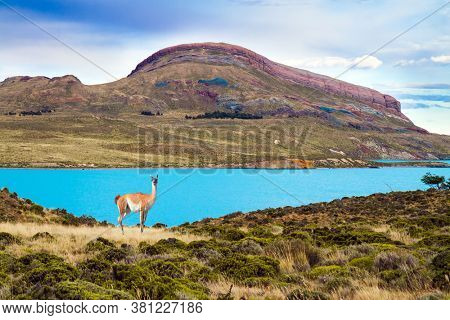 Argentina, Patagonia. Los Glaciares Natural Park. Guanaco is a wild humpbacked camel that lives in South America. Huge lake with azure water and cold mountains