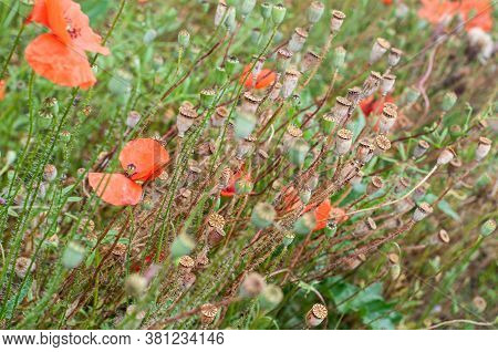 Red Poppies With Hairy Stems And Brown Seed Pods In An Uncultivated Meadow