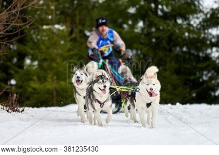 Husky Sled Dog Racing. Winter Dog Sport Sled Team Competition. Siberian Husky Dogs Pull Sled With Mu
