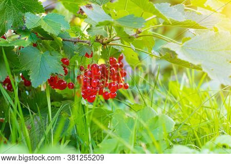 A Branch Of Red Currant . Red Berry. Harvest. Summer Red Berries . . A Currant Branch Hangs Over The