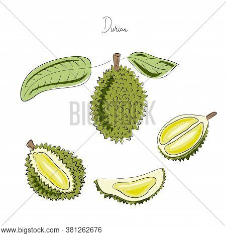 Hand Drawn Vector Illustration Set. Exotic Sketch Fruit. Tropical Durian.