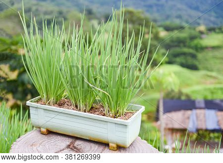 Onion Sprouts Green Seedling In Pot In The Vegetable Garden On The Mountain / Shallots Growing From