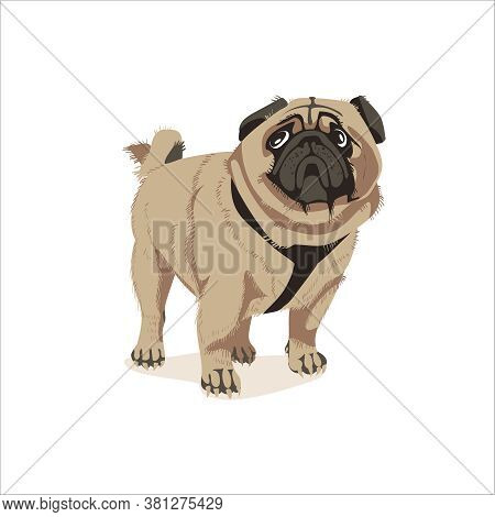 Lovely Chubby Wrinkled Pug Dog. Cute Friendly Purebred Pet Animal With Short Beige Coat And Curled T