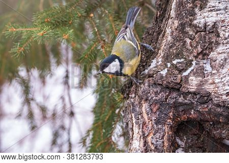 A Tit Is Looking For Food On A Tree Trunk. Great Tit, Parus Major, On Tree Trunk In Search Of Food I