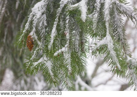 Pseudotsuga Also Known As Douglas Fir, Oregon Pine, Columbian Pine. Cones Under Snow. Wintertime.