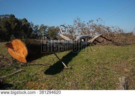 Tree Trunk Of Sawn And In Natura Eucaliptus 03