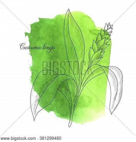 Vector Drawing Turmeric Plant, Curcuma Longa At Green Watercolor Background, Hand Drawn Illustration