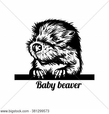 Peeking Baby Beaver - Funny Beaver Peeking Out - Face Head Isolated On White. Funny Peeking Animals