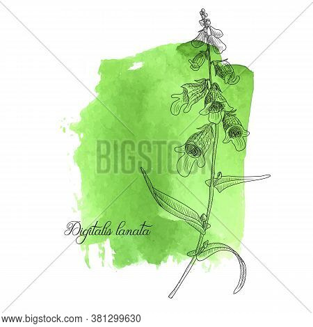 Vector Drawing Digitalis Plant, Foxglove, Digitalis Lanata At Green Watercolor Background, Hand Draw