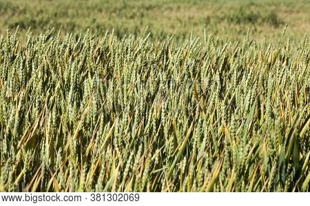 Green And Yellow Oats Or Other Cereals On Agricultural Land, Farming For Yield And Profit, Brightly