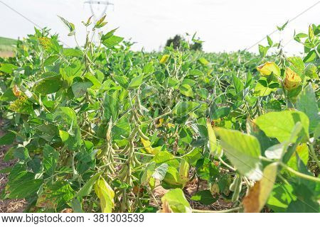 Soy Plants. Soy (glycine Max), Also Known As Soybeans And Chinese Beans. It Is Used In Human Food (i