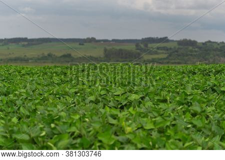 Soybean Plantation And Production Farm In Brazil