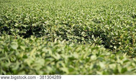 Soybean Crop Under Development In The Grain Formation Phase