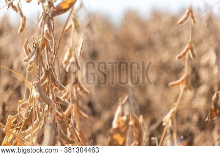 Soybean Crop In The Final Stage Of Maturation Ready For Harvesting Grains
