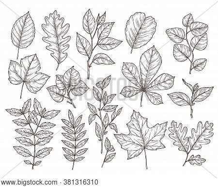 Hand Drawn Forest Leaves. Autumn Leaf Sketch, Nature Elements. Botanical Oak Branch, Fall Foliage An