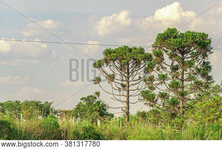 Rural Landscape. Araucaria Pine (araucaria Angustifolia). Area Of Farms And Agricultural Exploration