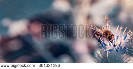 Horizontal Panoramic View Of Single Common Honey Bee (apis Mellifera) Feeding From Thistle Flower.