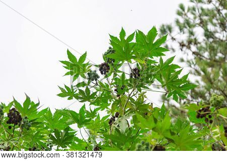 Castor Bean Plant And Fruits, Ricinus Communis L., Is A Plant Of The Euphorbia Family, As Well As Th