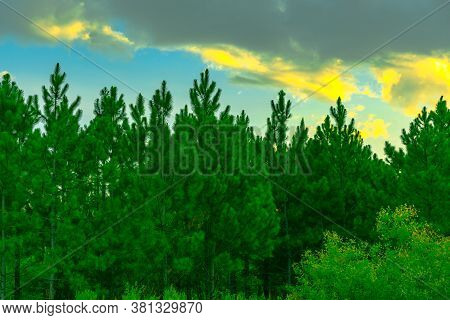 Pinus Elliottii Trees And Cumulonimbus Clouds That Form Rains In Brazil