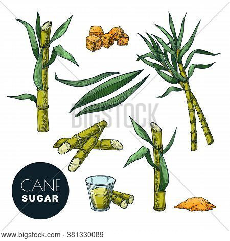 Sugar Cane Plant And Leaves Sketch Vector Illustration. Natural Organic Sweetener. Hand Drawn Isolat