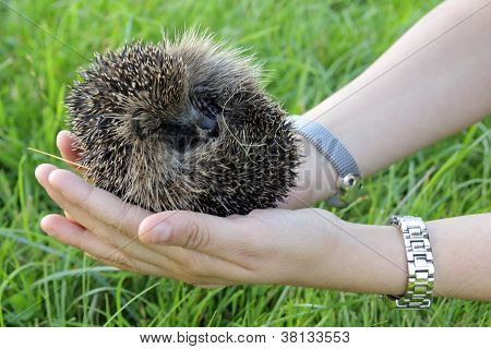 Hedgehog curled up on a woman's hand