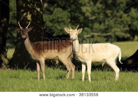 Two Fallow Deer in an English Parkland