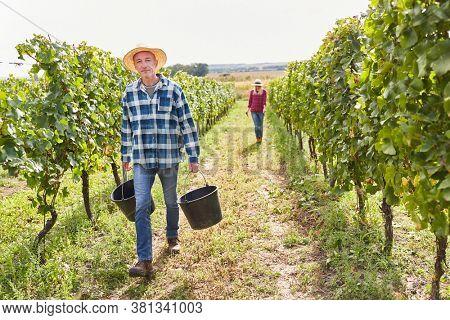 Wine grower harvesting wine between vines at his winery