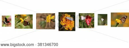 Different Types Of Butterflies And Moths Sitting On Marigold Flowers (black-coloured Red-bodied Swal