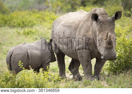 Female White Rhino Head On Standing With Her Calf Looking Alert In Kruger Park South Africa