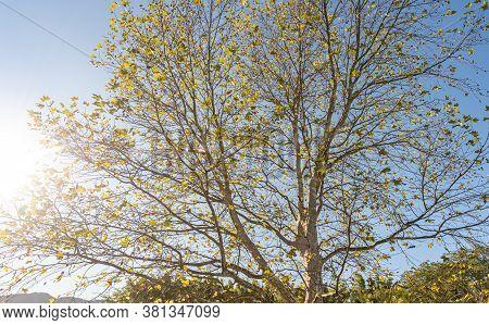 Maple Tree (platanus X Hispanica). Robust Tree, Reaching 35 To 40 M. It Has A Straight And Thick Tru