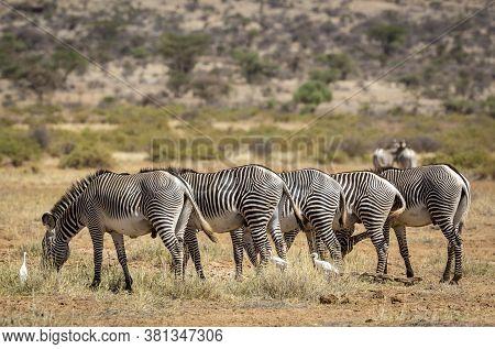 Herd Of Grevy's Zebra Standing In Line And Eating Grass In The Samburu National Reserve Kenya