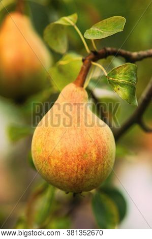 Green Ripe Pear Fruits Of Pyrus On Tree In Summer Vegetable Garden.