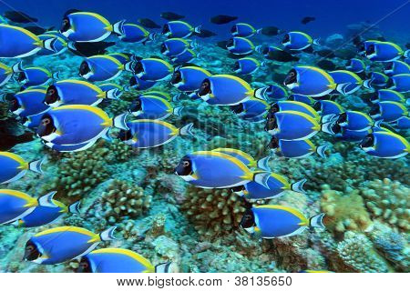 Shoal of powder blue tang in the coral reef poster