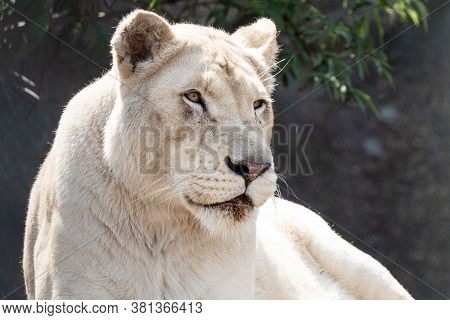 A White Lioness Looking Intensely With Her Blue Eyes In This Beautiful Close Up Photo Of Her Face. T