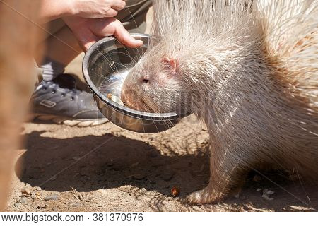 Portrait Of Indian Crested Porcupine In Captivity Enjoying Vegetables, Porcupine Holding And Eating