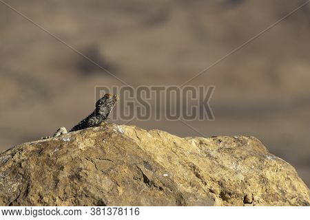 Single Black Lizard Basking In The Sun On A Rock Against The Backdrop Of The Mountains Of Crater Ram