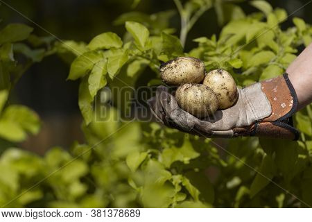 Home Grown Planted Seed Potatoes Held In A Garden Gloved Hand In Front Of The Vibrant Yellow Leaves