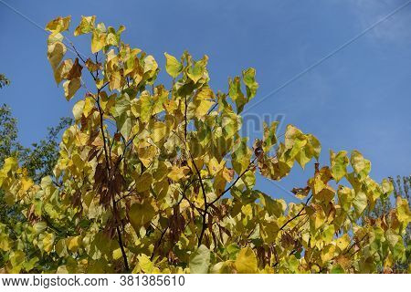 Blue Sky And Autumnal Foliage Of Cercis Canadensis In September